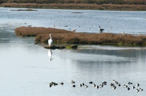 Elkhorn Slough Birds