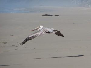 Inn to inn hikers discover shorebirds along the Monterey coast