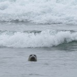 harbor seal at the river